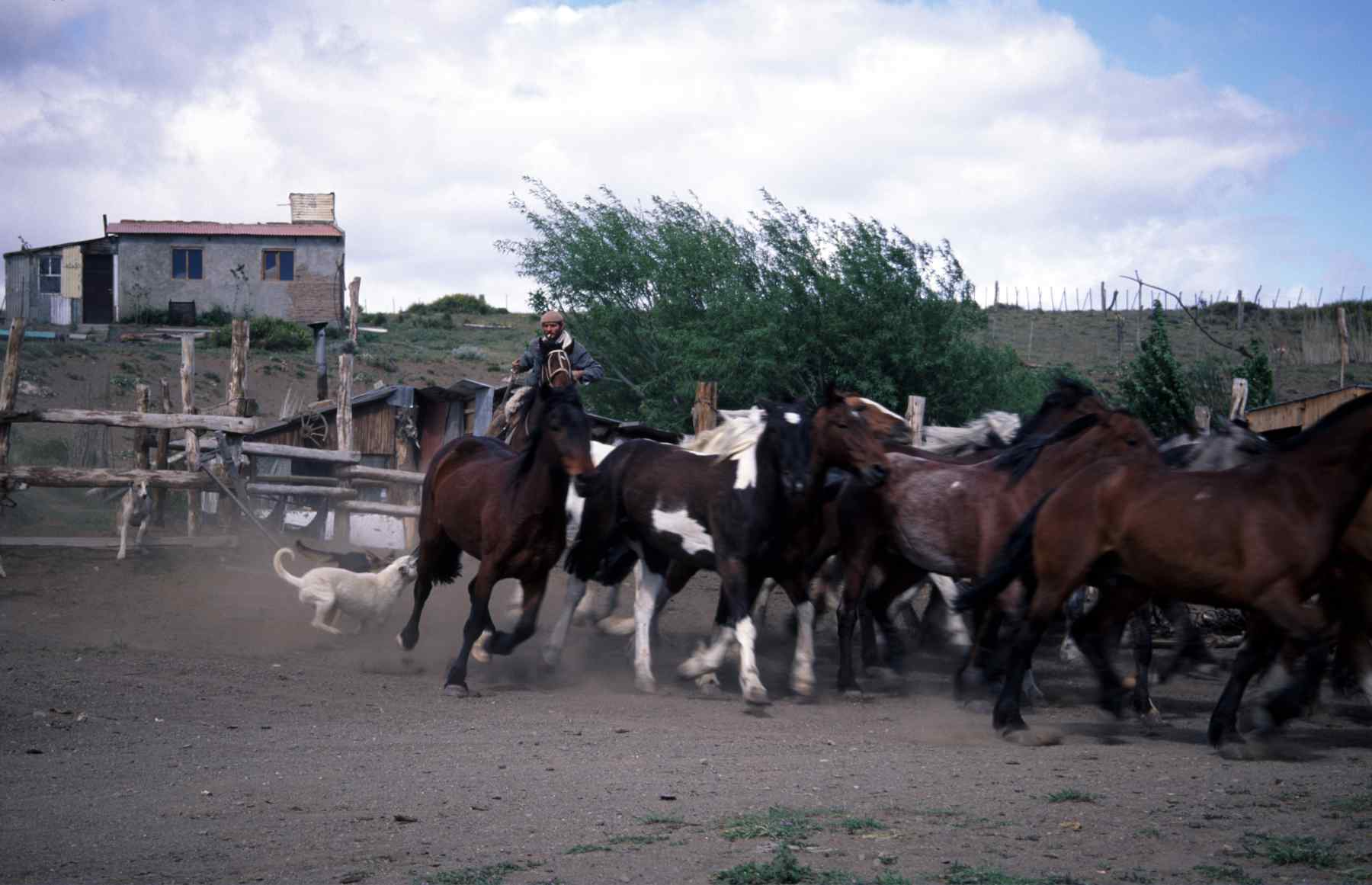 ARGENTINIAN COWBOY or GAUCHO COWBOY and his horses in PATAGONIA, ARGENTINA