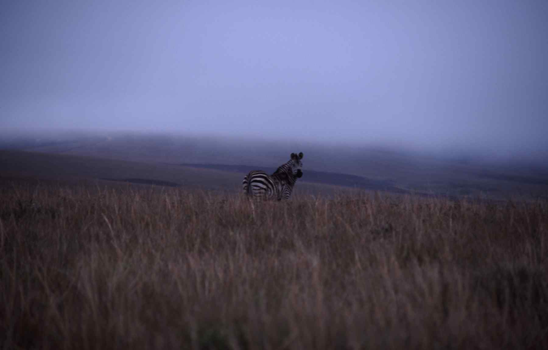 BURCHELLS ZEBRA on NYIKA PLATEAU in MALAWI, AFRICA